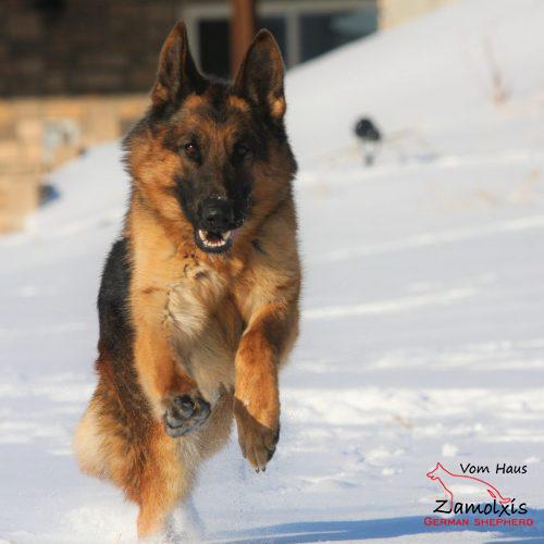 German Shepherd Puppies North America
