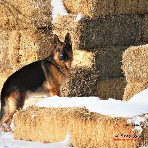 German Shepherd Puppies for Sale Colorado