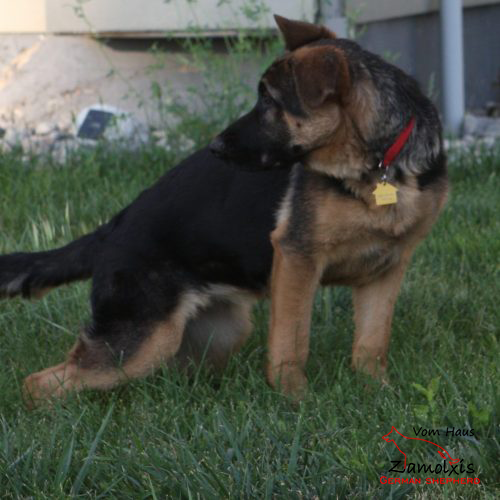 German Shepherd Puppies USA