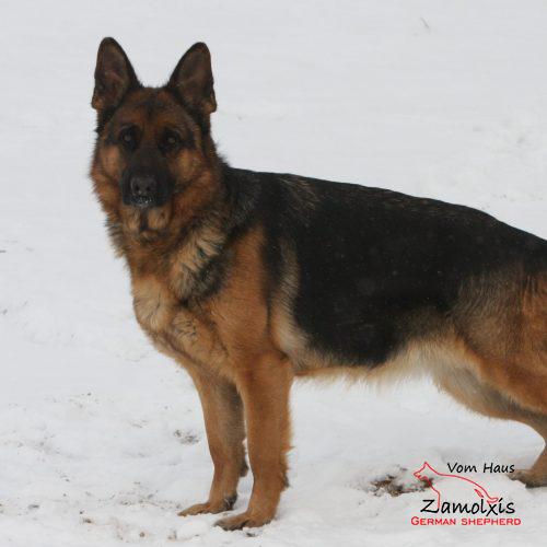 German Shepherd Puppies Colorado