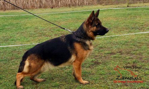 Best German Shepherd South America