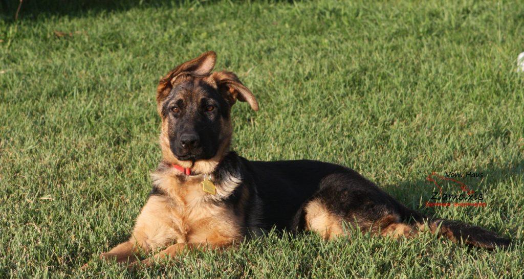 German Shepherd Aurora Colorado